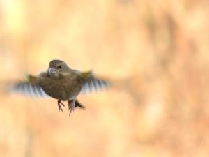 Fångade en Grönfink i flykten när den var på väg mot en fågelmatning strax utanför Rönnby.