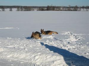En tycker det är kul, en tycker bara det är jobbigt. Fokus och Dilba leker i snön.