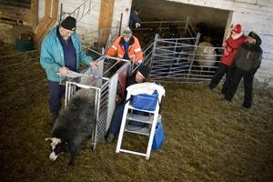 Jan Thorén antecknar hur många lamm Martin Sjunnesson hittar när han gör ultraljudet.