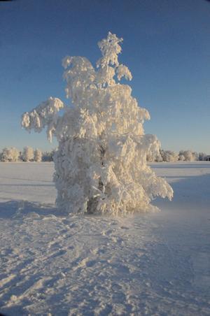 Dimfrost. Bild på träd vid nedfarten till gamla flygstation strax bortom Frösö kyrka.
