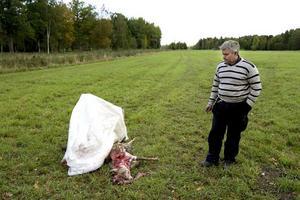 Rivet får. Munga gårds förvaltare Henrik Berndtssen vid det döda fåret. Under fredagen tas alla får in och stängslen ses över.