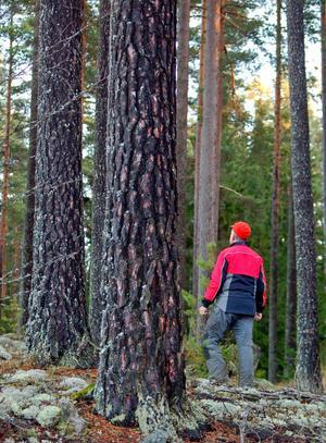 Ägarfamiljen har under många år undantagit området från skogliga åtgärder.