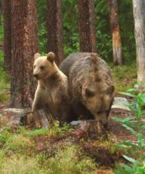 Hona med björnunge. Tre år senare får ungen klara sig bäst den kan utan hennes beskydd.