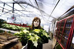 """Vita julstjärnor blir allt populärare. """"Tidigare var det främst yngre som köpte vitt men nu tycker jag att det spridit sig till fler"""" säger Ulrika Kristiansson, florist och en av ägarna till Hedvigs Blommor."""