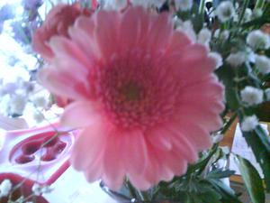 Rosa är min älsklingsfärg,så jag tycker att denna gerbera ska passa in.
