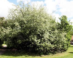 Äppelträdet, som numera är borttaget.