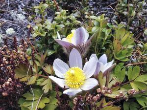 Bland lingonris och ljung hittade Yvonne Kristoffersson tre mosippor i blom utanför Sveg. Det fanns många små blöta knoppar men endast tre hade orkat slå ut. Den rara mosippan (Pulsatilla vernalils) eller mofila, som landskapsblomman kallas i Härjedalen, trivs på sandiga tallheder och blommar när tjälen gått ur marken.   Erik Axel Karlfeldt diktade 1918 i Blommornas kärlek om mosippan, som även kallades gökskälla.   När Phoebus skön Flora besöker   vid gökrop från sunnan och väst   från tusen små altar det röker   till lundarnas kärleksfest.   I backen står gökskällan luden   och rör som till högtid sin kläpp,   och brudgummen bidar och bruden   med honung på längtande läpp.