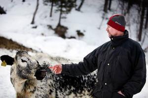 Ett par kvigor och kor av fjällras har Stig Kristiansson. De stammar från kor som funnits länge på gården.