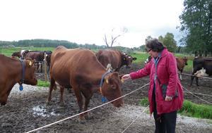 Lillemor Wilén har närkontakt med kossorna. Bild: Privat