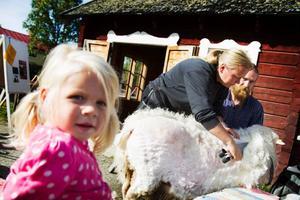 Cajsa Eriksson, 2,5 år, tog en stund på sig innan hon satte sig bredvid fåret.