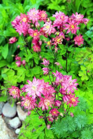 Klematisaklejan blommar med fyllda mjukt rosa fyllda blommor som är uppåtriktade istället för hängande som hos den klassiska aklejan.