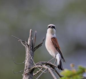Vi gick på en skogstig då kom vi in på denna fågels revir,oj, vad ilsken den blev av vår närhet  dom ögonen säjer ju allt så vi lämnade området han ville ju det .