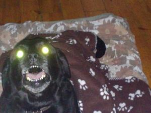 Hunden Zorro fick väldigt självlysande ögon.