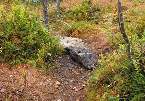 Välplacerat, mitt i stigen, ligger bland annat resterna av två älghuvuden.