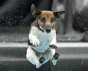 Jack russel terrier tar språnget in i topp-fem listan i tre av sex kommuner i Gästrikland och Norduppland.