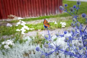 En självsådd martorn, populär bland fjärilarna.