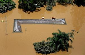 Ko på tak. Kossan som räddade sig på ett tak på ett jordbruk utanför Ipswich i Queensland. Queensland i Australien drabbades av de värsta översvämningarna i landets historia.