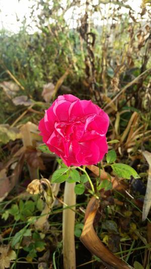 Även på Frösön blommar det. Bilden på rosen är tagen 12 november.