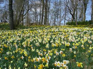 Snart blommar tusentals påskliljor i Fagerås
