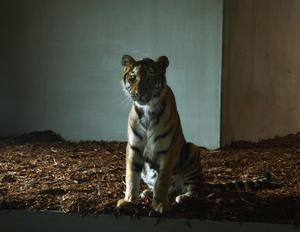 Kitzi. Den sibiriska tigerhonan visade sig under korta tillfällen för parkens besökare under invigningsdagen av Tiger Mountain. Foto:Jeanette Lundbeck