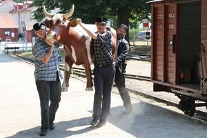 Innan 11:55-tåget från Mariefred avgick släpptes/släpades denna ko ut på grönbete framför stationshuset.