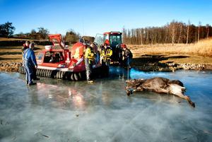 Två älgar avlivades ute på Hjälmarens is, och bogserades in till land av brandkårens svävare.