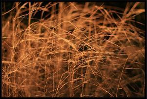 Jag tyckte att gräset fick så vackert ljus i höstsolen.