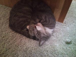 Min lilla katt har kurat ihop sig brevid sitt byte, eftersom hon är innekatt får man ta vad som finns att hitta. Denna gång blev det en liten bit gran. efter allt bus med kvisten somnade hon i denna sköna position :)