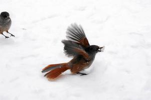 Skogsägare i Vallsta fick avverkningsförbud redan 2016 eftersom den skyddade fågeln lavskrika finns i området.