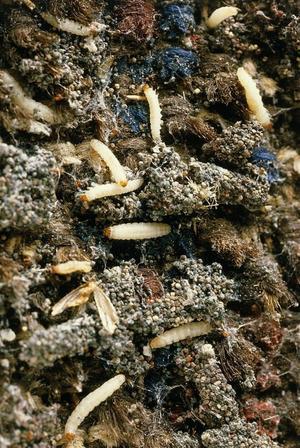 Här kalasar larverna på en golvmatta.