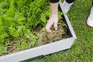 Bara sand och gräsklipp duger bra för många grönsaker.