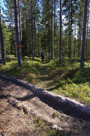 Med tunga traktorer har skogsägaren kört rätt över en gammal hålväg i fornminnesområdet.