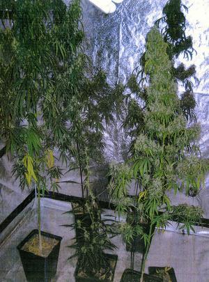 Cannabisodling i bostad.