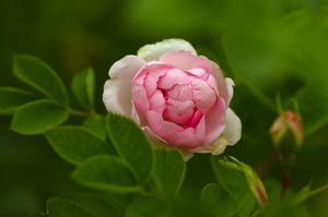 Mormorsros. Rosa certifolia Major kallas allmänt för mormorsros, och är den ros som oftast finns avbildad på gamla bokmärken. En vacker stor tung tät blomma med många blad, som trivs här och blommar länge.