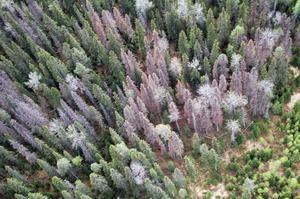 En skog i Kärlarne 2011 som blivit attackerad av granbarkborrar.
