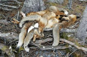 Nu börjar ryktet gå bland byborna i Arvesund. Vem har dödat de sju rävarna och varför?