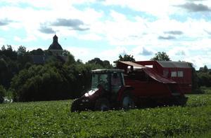 Plock. Med Stora Skedvi kyrka i bakgrunden kör Greger Sares potatisplockaren för första gången i år. Idag finns den närproducerade färskpotatisen i ortens butiker. Foto:Berndt Norberg