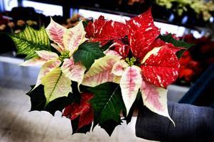 JULROSA. Vem har sagt att julstjärnor ska vara röda? Den här rosa skönheten som passande nog heter Dolce Rosa funkar väl minst lika bra.