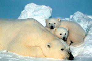 Ofta används påståenden om isbjörnar som indikation på den globala uppvärmningen. Men Björn Lomborg visar att isbjörnspopulationen faktiskt ökat kraftigt. Foto: SCANPIX