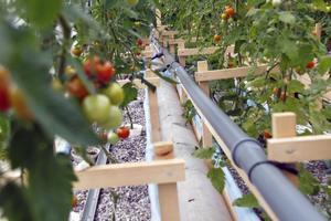 Tomatplantorna vill ha en behaglig temperatur och fiskarna vill ha de svalt i tanken.