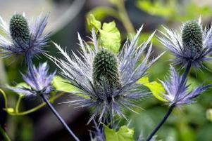 Martornen blommar på sensommaren och skapar en häftig kontrast om den planteras tillsammans med ljuva och skira växter.