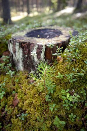 Det avverkade trädet blev cirka 130 år. Bredvid stubben växer den nya generationen skog upp, en tallplanta som är cirka två år gammal.