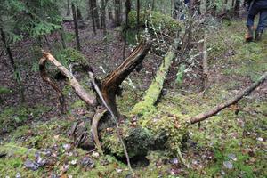 Döda träd är bra för mångfalden i ett naturreservat.