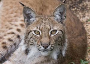 Lodjuret är Europas största kattdjur. Den lever i skogsområden, gärna i bergig och brant terräng.