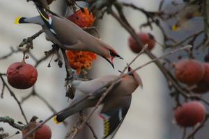 Hungriga sidensvansar ser ut att skrika på varandra efter mat :)