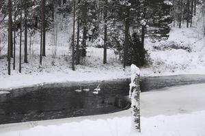 Svanar i Nyfors i närheten av Björsjö.