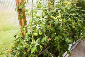 Några röda tomater skyms och snart blir de fler. Plantorna har Rolf planterat i gamla fisklådor som han satt dubbla ovanpå varandra och fyllt med jord.