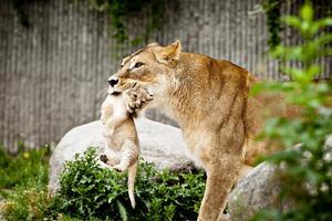 Lejonhonan bär hem en av sina två ungar på Köpenhamns zoo.