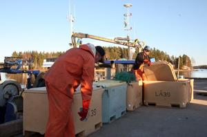 Johan Blomqvist och Daniel Lindblom hjälps åt med att se till att strömmingen förvaras på ett bra sätt.