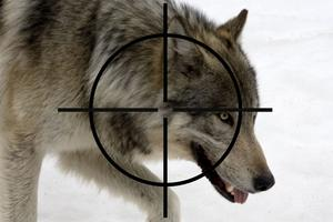 Polisen har inga detaljer om vart jakten kommer ske eller hur många vargar som ska skjutas. Bilden är ett montage av genrebilder.
